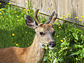 Deer in my compost pile (9232916274).jpg