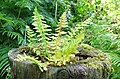 Depauperate fern, Lochailort, Highland Council, Scotland.jpg