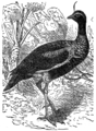 Descent of Man - Burt 1874 - Fig 38.png