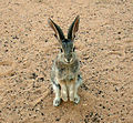 Desert Cottontail on hind legs begging.jpg