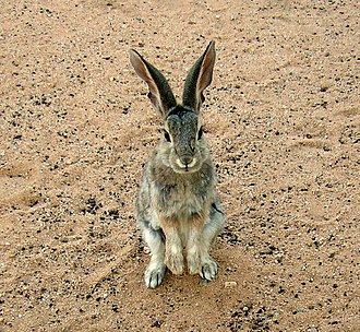 Desert cottontail - Submissive posture anticipating food