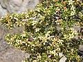Desert bitterbrush, Purshia glandulosa (15125367974).jpg