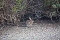 Desert cottontail (39717018164).jpg