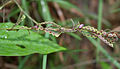 Desmodium gangeticum (Salvan) in Hyderabad, AP W IMG 0148.jpg