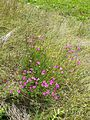 Dianthus deltoides sl8.jpg
