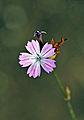 Dianthus strictus - Wild Pink - Dimisok.JPG