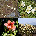 Diapensia lapponica (Montage).jpg