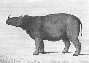 Sumatran rhinoceros - First drawing of the first specimen known to Western science, by William Bell, 1793