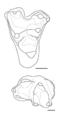 Didelphodon molars.png