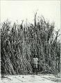 Die Pflanzenwelt Afrikas, insbesondere seiner tropischen Gebiete - Grundzge der Pflanzenverbreitung im Afrika und die Charakterpflanzen Afrikas (1910) (20752169850).jpg