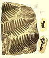 Die fossile Flora der Permischen Formation (1864) (20729491549).jpg