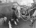 Dikbil Corrie is drie jaar en weegt 820 kilo Twee van de deelnemers op veemarkt, Bestanddeelnr 915-0070.jpg
