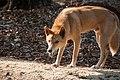 Dingo-northern-2.jpg