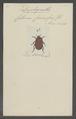 Diplognatha - Print - Iconographia Zoologica - Special Collections University of Amsterdam - UBAINV0274 022 06 0086.tif