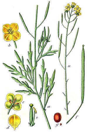 Diplotaxis tenuifolia - Image: Diplotaxis tenuifolia Sturm 32