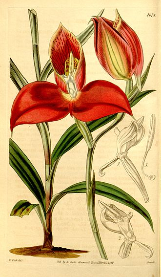 Disa uniflora - 1844 plate by Walter Hood Fitch from Curtis's Botanical Magazine