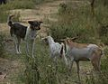 Dog with Goats (5072423019).jpg