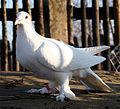 Dolnośląski biały łapciaty (gołąb) 455.jpg