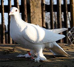 Super Dolnośląski biały łapciaty – Wikipedia, wolna encyklopedia HM46