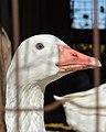 Domestic Greylag Goose (Anser anser var. domesticus) - FrogHollow Farm Sanctuary 2019-10-26.jpg