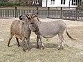 Donkeys (117527728).jpg