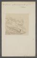 Doris atromarginata - - Print - Iconographia Zoologica - Special Collections University of Amsterdam - UBAINV0274 080 21 0032.tif