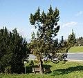 Dornbirn-Ammenegg-Juniperus communis-04ASD.jpg
