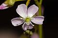Drosera auriculata Howden Tasmania Flower 001.jpg
