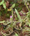 Drosera indica.jpg
