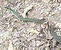 Drymobius margaritiferus-Querétaro-070526sr-cropped.jpg