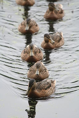 Ducks-in-order