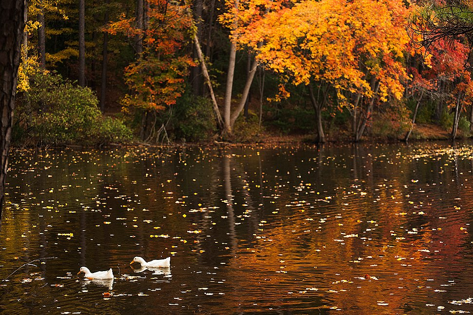 Ducks in Fall