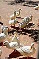 Ducks on a farm.jpg