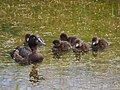 Ducks with chicks pic2.JPG