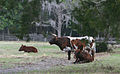 Dudley Farm Cracker cows.jpg