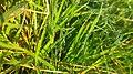 Dugariya, Madhya Pradesh 471101, India - panoramio (37).jpg