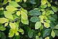 Duranta erecta in Tropengewächshäuser des Botanischen Gartens.jpg