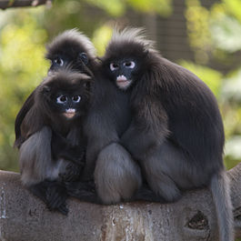 Dusky Leaf Monkeys.jpg
