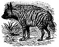 EB1911 Striped Hyena.JPG