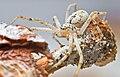 Ebo pepinensis, female (F Philodromidae) (4131858085).jpg