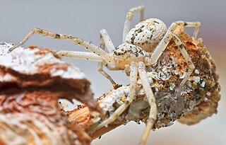 <i>Ebo pepinensis</i> species of arachnid