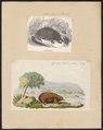 Echidna histrix - 1700-1880 - Print - Iconographia Zoologica - Special Collections University of Amsterdam - UBA01 IZ20300192.tif