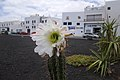 Echinopsis lageniformis flowering 01.jpg