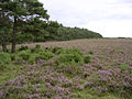 Edge of the Hawkhill Inclosure from Beaulieu Heath, New Forest - geograph.org.uk - 43438.jpg