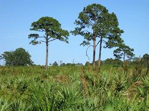 Brevard County, Florida - Pine flatwoods and sand pine scrub