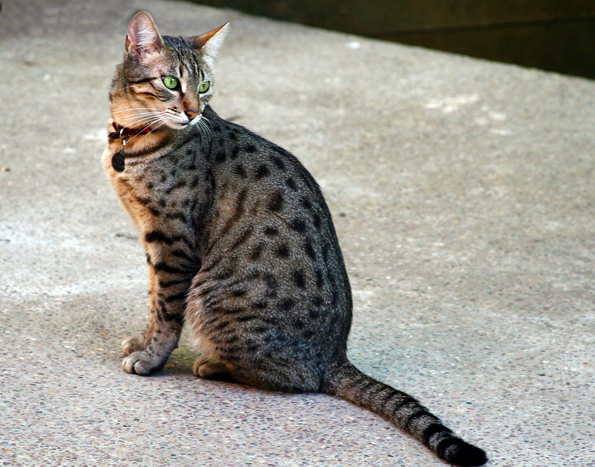 30  Beautiful Egyptian Cat Breeds