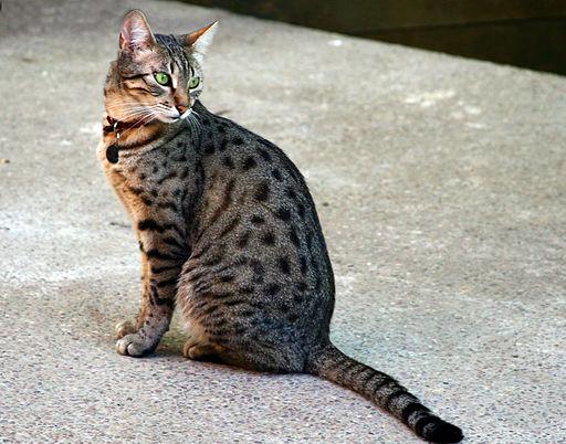 Ägyptische Mau – die Katze mit den mandelförmigen Augen