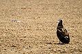 Egyptian vulture Juvenile jorbeed bikaner (Cropped) JEG4429.jpg