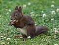 Eichhörnchen in Sachsen 2H1A3184WI.jpg