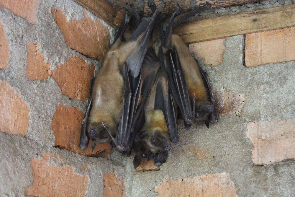 The average litter size of a Madagascan fruit bat is 1
